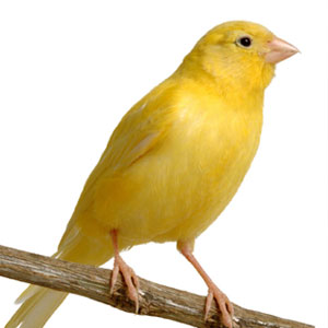 Bird Game Option - Canary