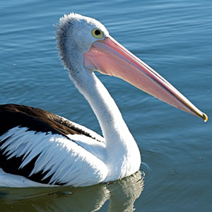 Bird Game Option - Pelican