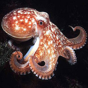 Sea Animal Game Option - octopus
