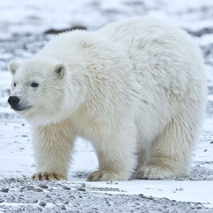 Sea Animal Game Option - polar bear