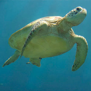 Sea Animal Game Option - sea turtle