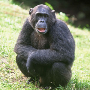 Wild Animal Game Option - chimpanzee