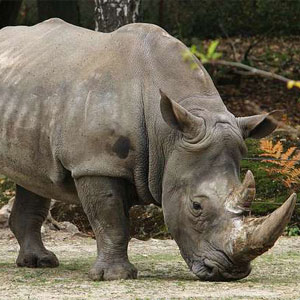 Wild Animal Game Option - rhinoceros