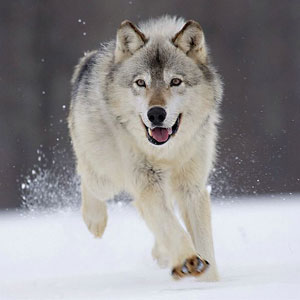 Wild Animal Game Option - wolf
